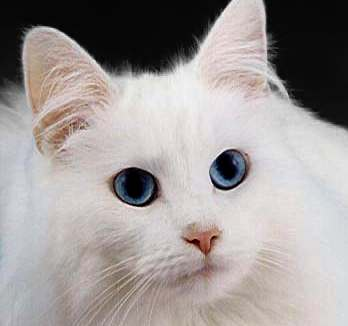 Are White Cats With Blue Eyes Always Deaf