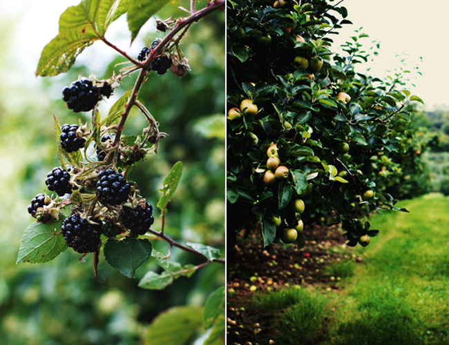 diptych of blackberries and apples in the Irish countryside
