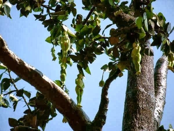 شجرة نبتة الناربول تنبث ثمار على شكل مرأة