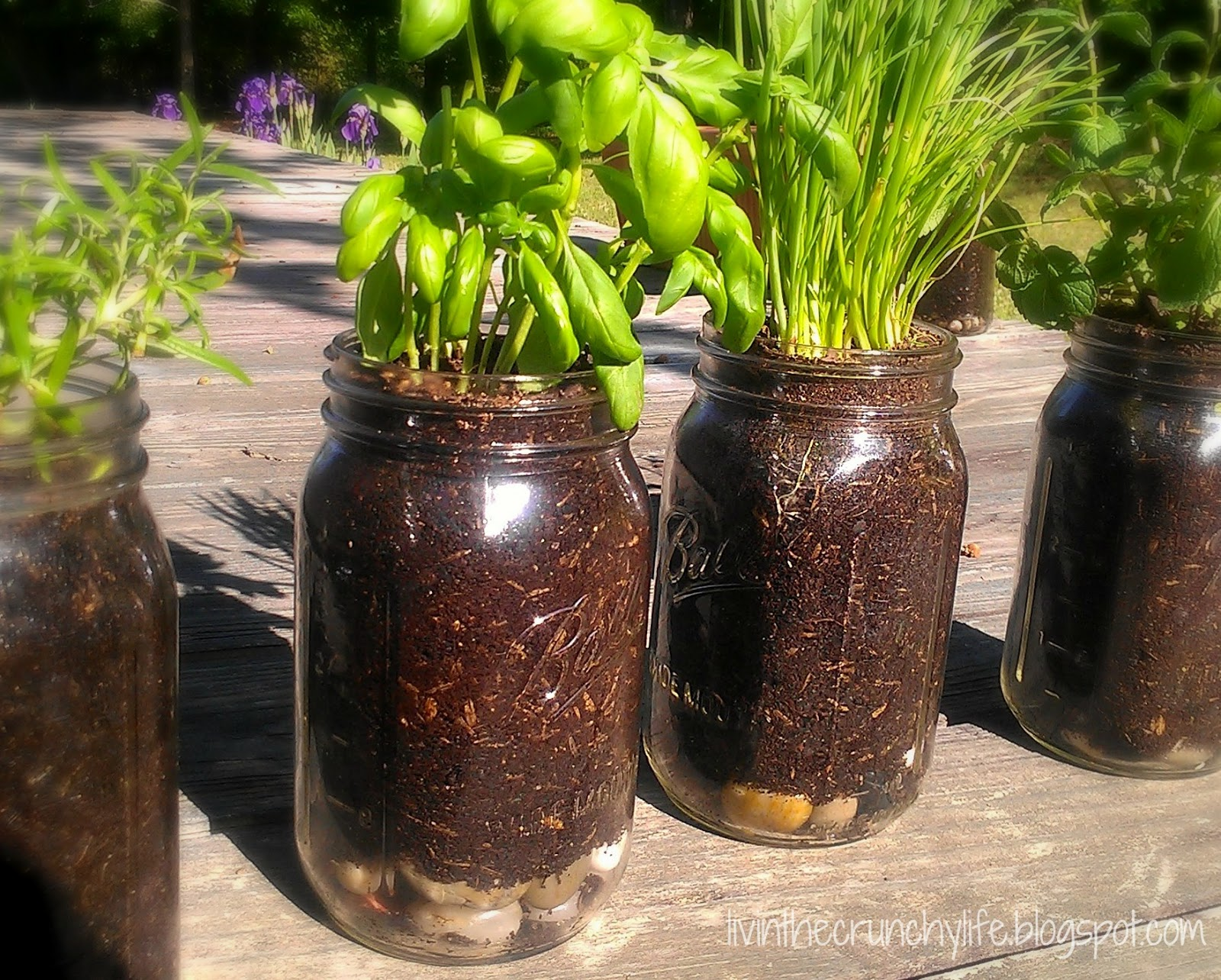 How to Grow Herbs in Mason Jars Livin the Crunchy Life