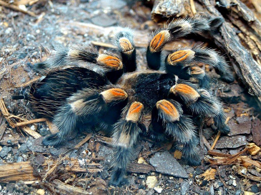 Popular Tarantula Species | Fun Animals Wiki, Videos ... A Dangerous Method
