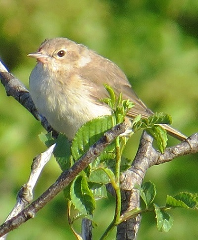 Garden Warbler