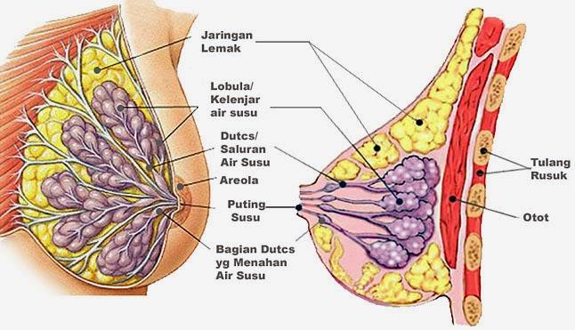 struktur payudara indah