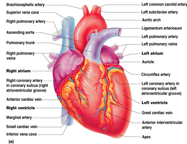 Class blog bio 202 heart anatomy for Exterior of heart diagram