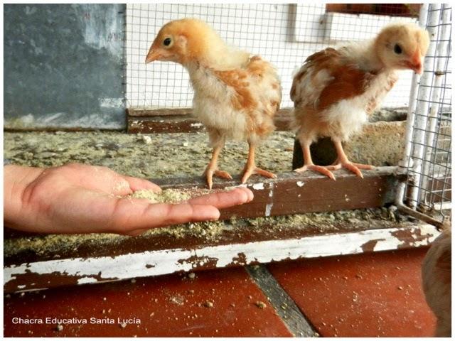 Pollos - Chacra Educativa Santa Lucía