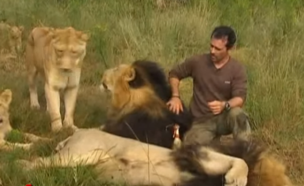 South African animal behaviourist Kevin Richardson has made several movies showing his amazing friendship with adult lions.   He can be seen petting them as if they are his household pets – he tugs them, rolls over with them, holds their head in his arms and scratches their chin.