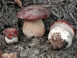 Boletus pinicola - Boleto de pino
