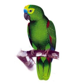 papagaio bonito