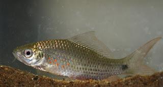 teknik cara pemijahan memijahkan mengawinkan pembenihan pembibitan ikan nilem