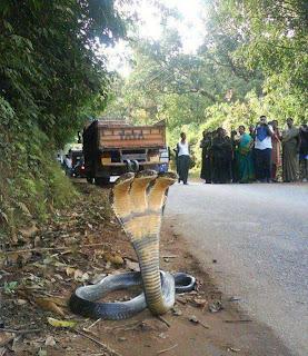 Ular Kobra Berkepala Tiga