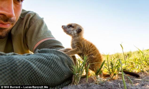 suricata viendo a hombre