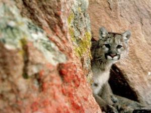 Puma Amerika Timur Resmi Punah