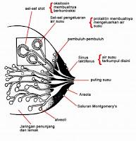 Gambar 1. Tanda Awal Kehamilan - Ukuran Payudara