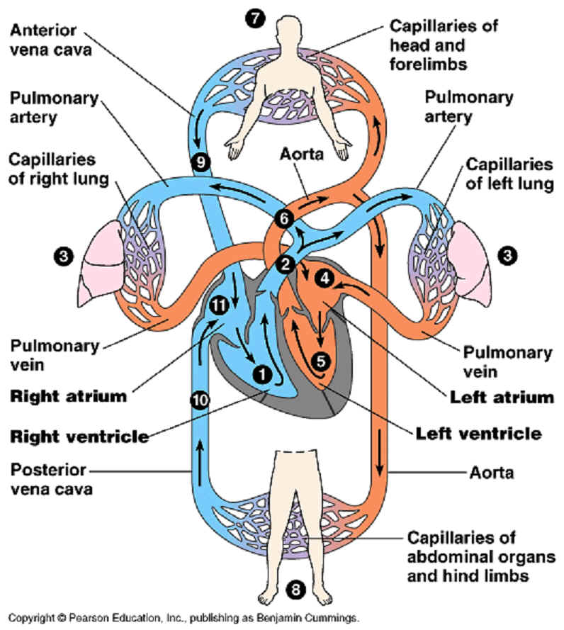 Importantof the heart circulatory system we are going to speak about the heart how it work in our body but before we start we have single circulation system and double circulation system ccuart Gallery