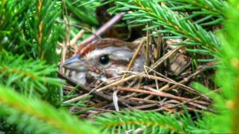 Song Sparrow Nest and Song