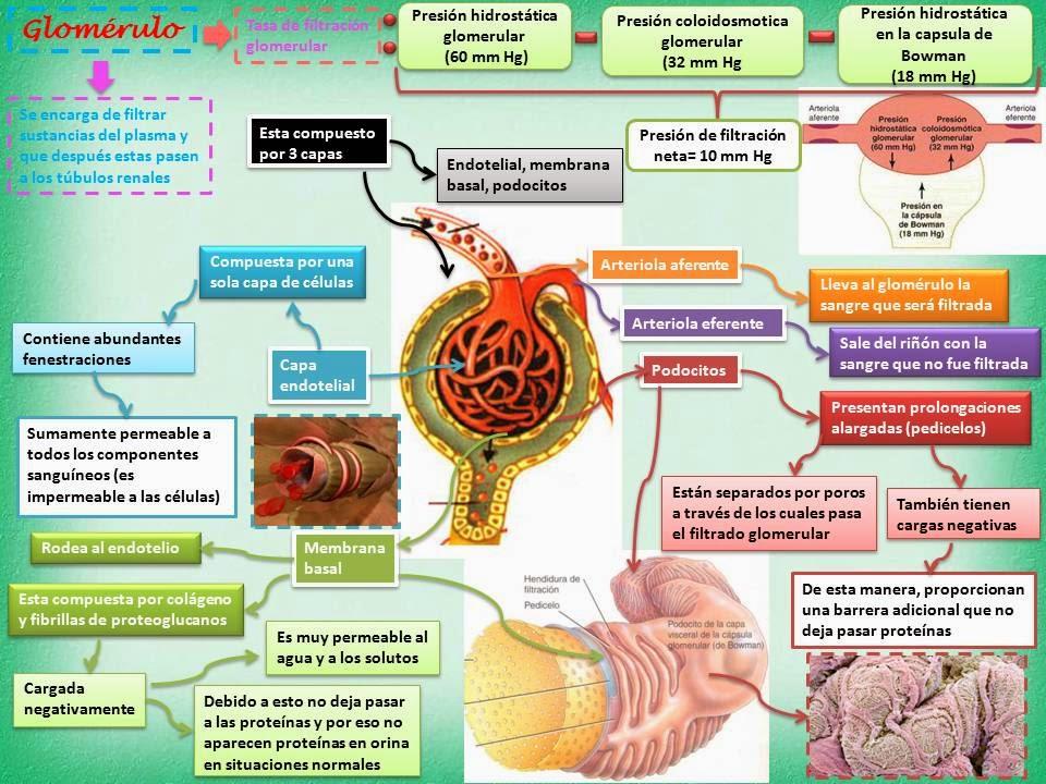 Blog de Fisiología Básica de Rogelio Eduardo Enriquez Lopez : 2014
