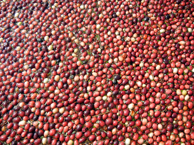 A sea of cranberries during wet harvest in Massachusetts