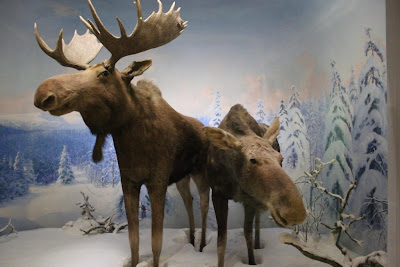 maine moose diorama