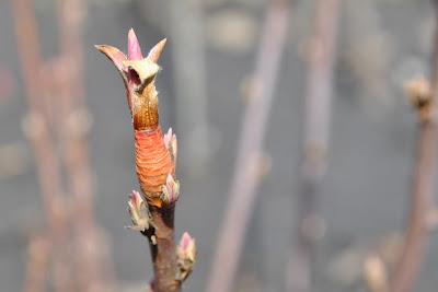 Сибирка алтайская (Sibiraea laevigata (L.) Maxim.)