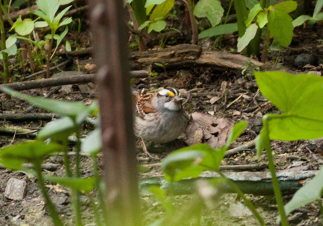 White-throated Sparrow - Central Park, New York