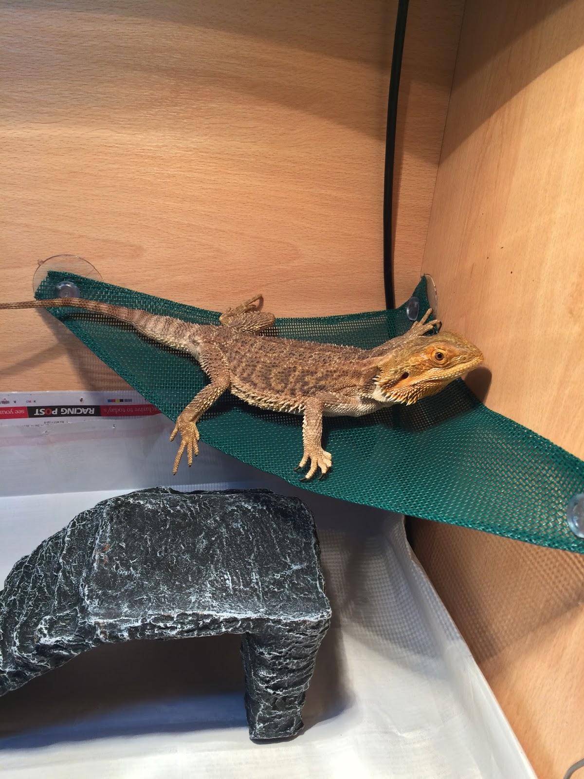 bearded dragon on a reptile hammock