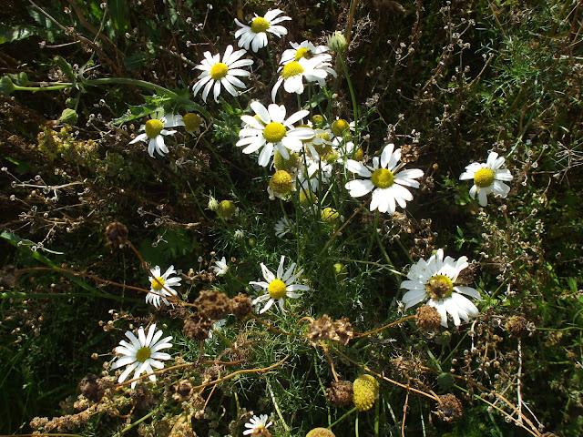 field daisies sept 13 seapenguin