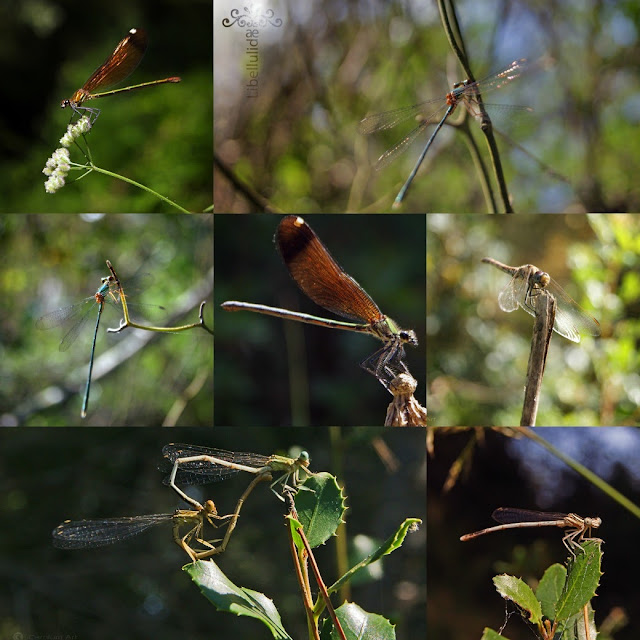 libelulas-collage-macro-fotogafia-carolum-art