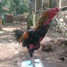 Stamina dan otot ayam petarung