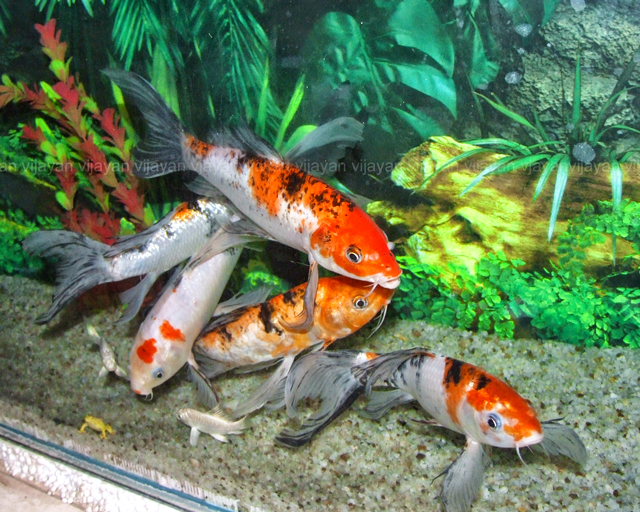 Cold water aquarium fish australia for Koi fish aquarium