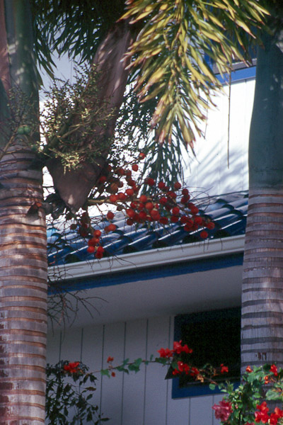 Red Fruit With Spikes http://hihort.blogspot.com/2011/10/foxtail-palm-wodyetia-bifurcata.html#!