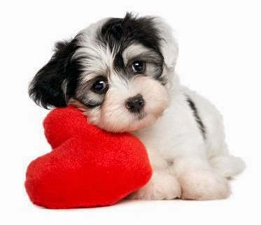 The cutest Havanese puppy. Black and white. leaning on a red heart