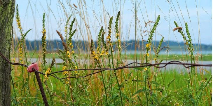 Danmarks vilde lægeplanter
