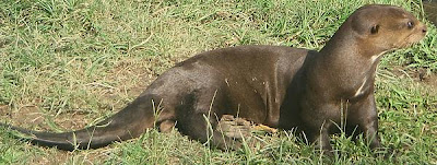 La nutria es un animal de rica piel