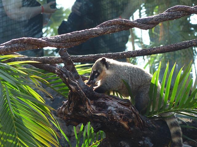 Coati o Cusumbo colombia animales salvajes