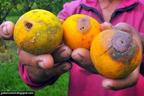 Jom Saksikan Bagaimana Tenaga Elektrik Dihasilkan Dari Buah buahan Yang Busuk