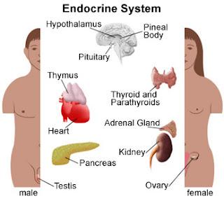 Endocrine system, Hormonal gland