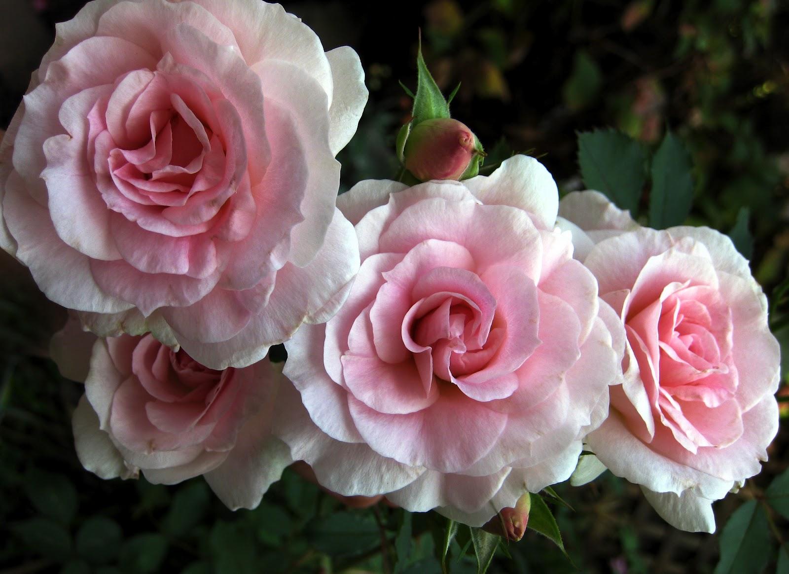 http://3.bp.blogspot.com/-uWb5RcCv-fI/T0W4o2vTI3I/AAAAAAAAAeA/w-Bcb72nA50/s1600/Morden+Pink+Rose+09+darker.JPG