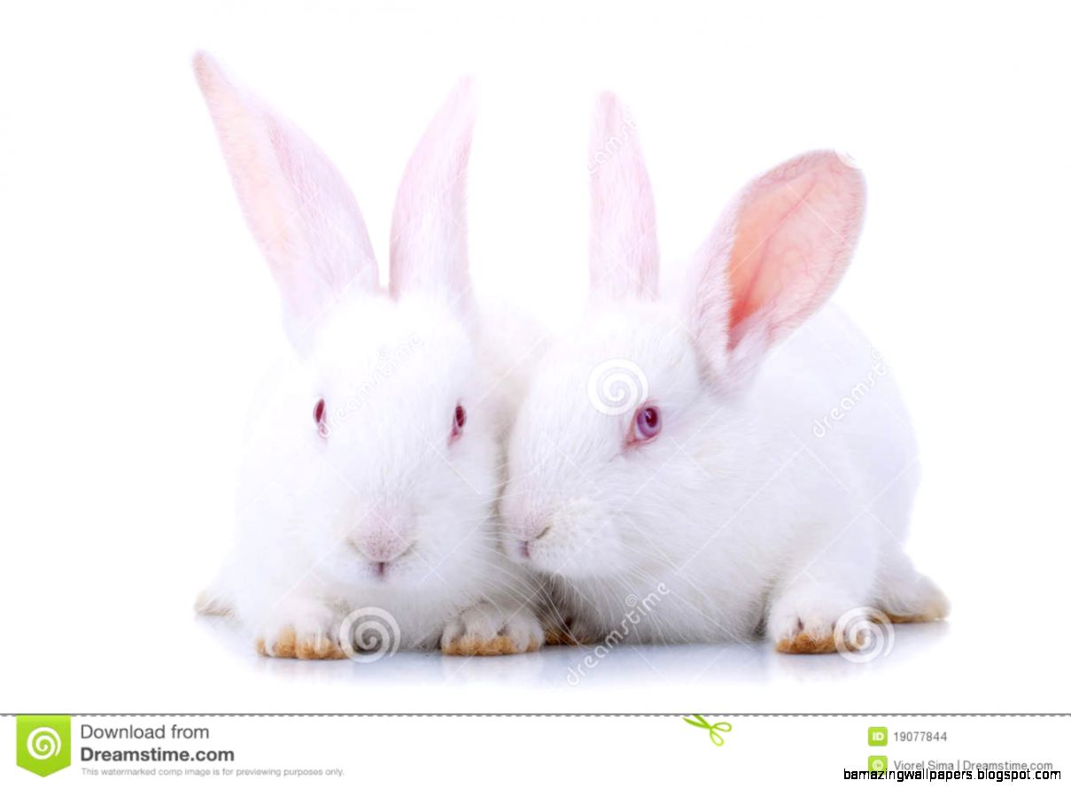 Two Cute White Baby Rabbits Stock Images   Image 19077844