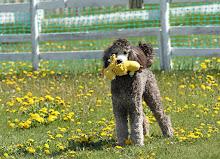 SOLEIL- SCENTHURDLE DOG CHAMPION