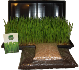 Kit Wheatgrass