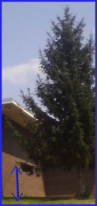 The picture shows a large pine tree. A bottom branch was pulled from six feet to the ground a lot of times and it is out of position an hour later.