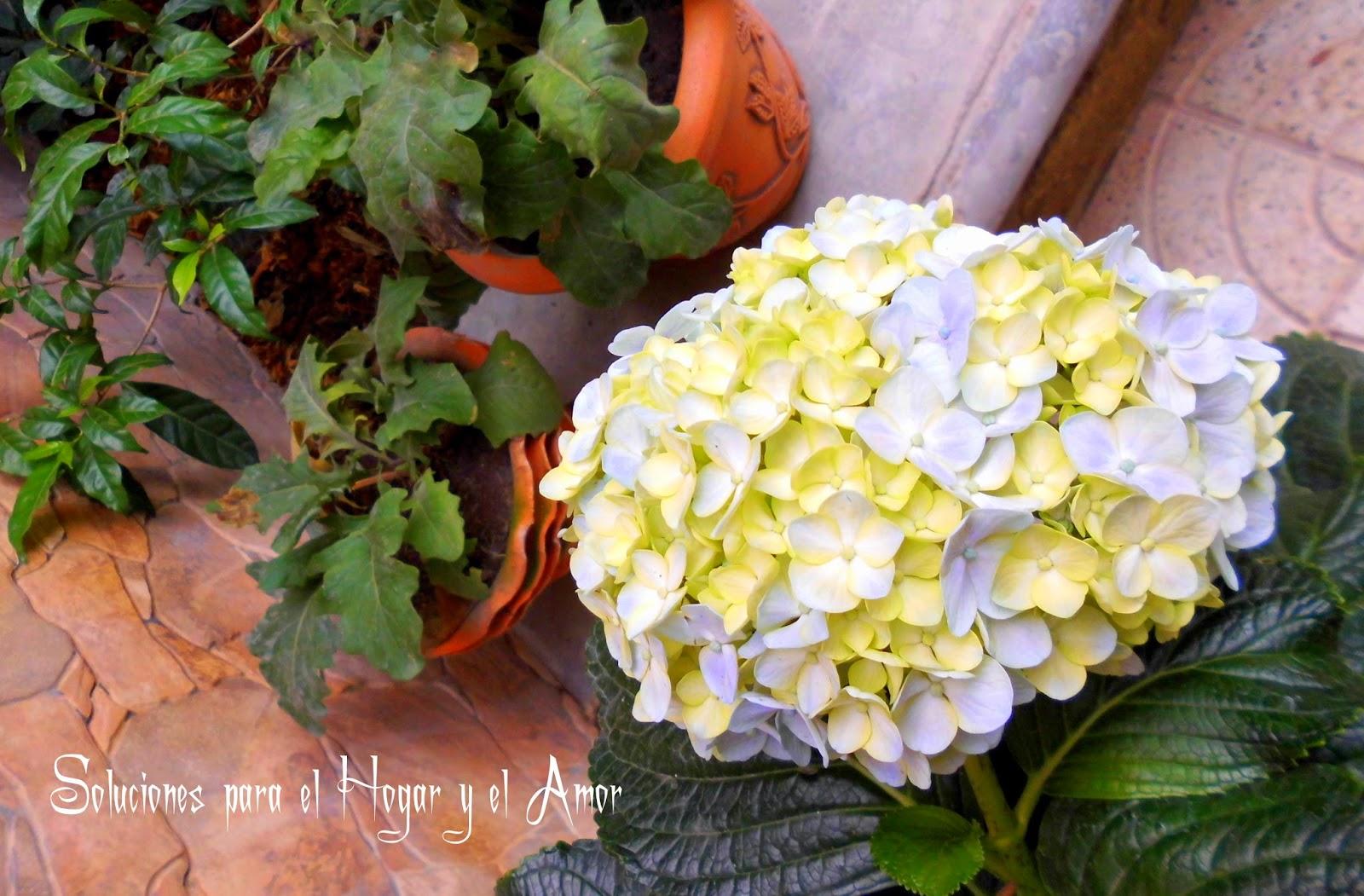 Plantas y Flores, hortensia azul