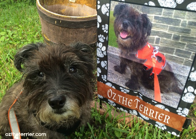 Oz the Terrier flagology garden flag is customized with his photo and name