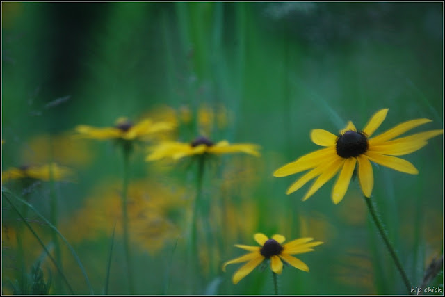 Black-Eyed Susans Photo