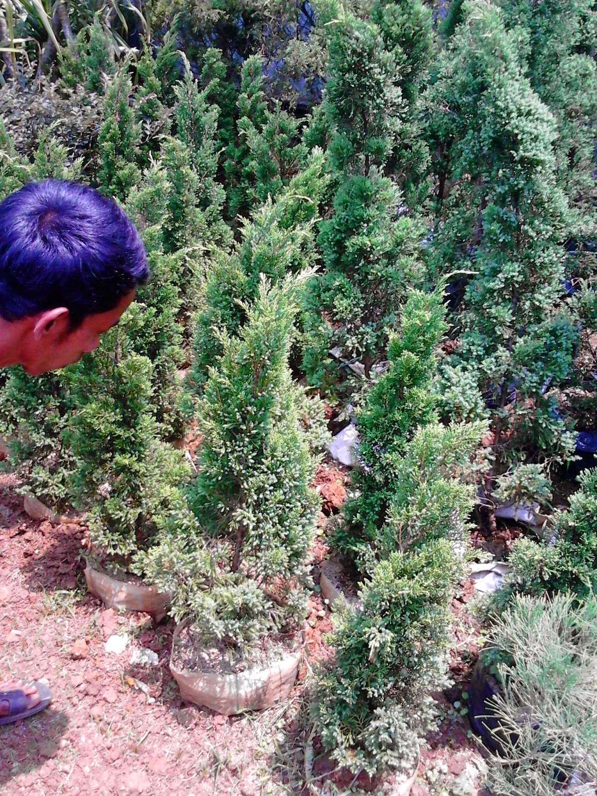 Jual pohon cemara lilin