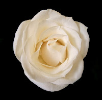 full blownwhite rose on black background