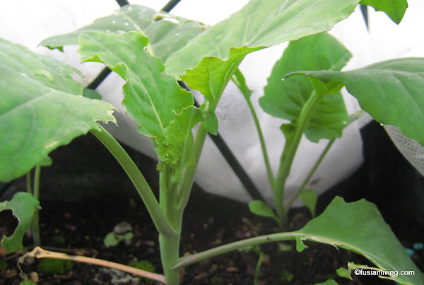 Kai Lan / Chinese Broccoli growing in vegetable garden