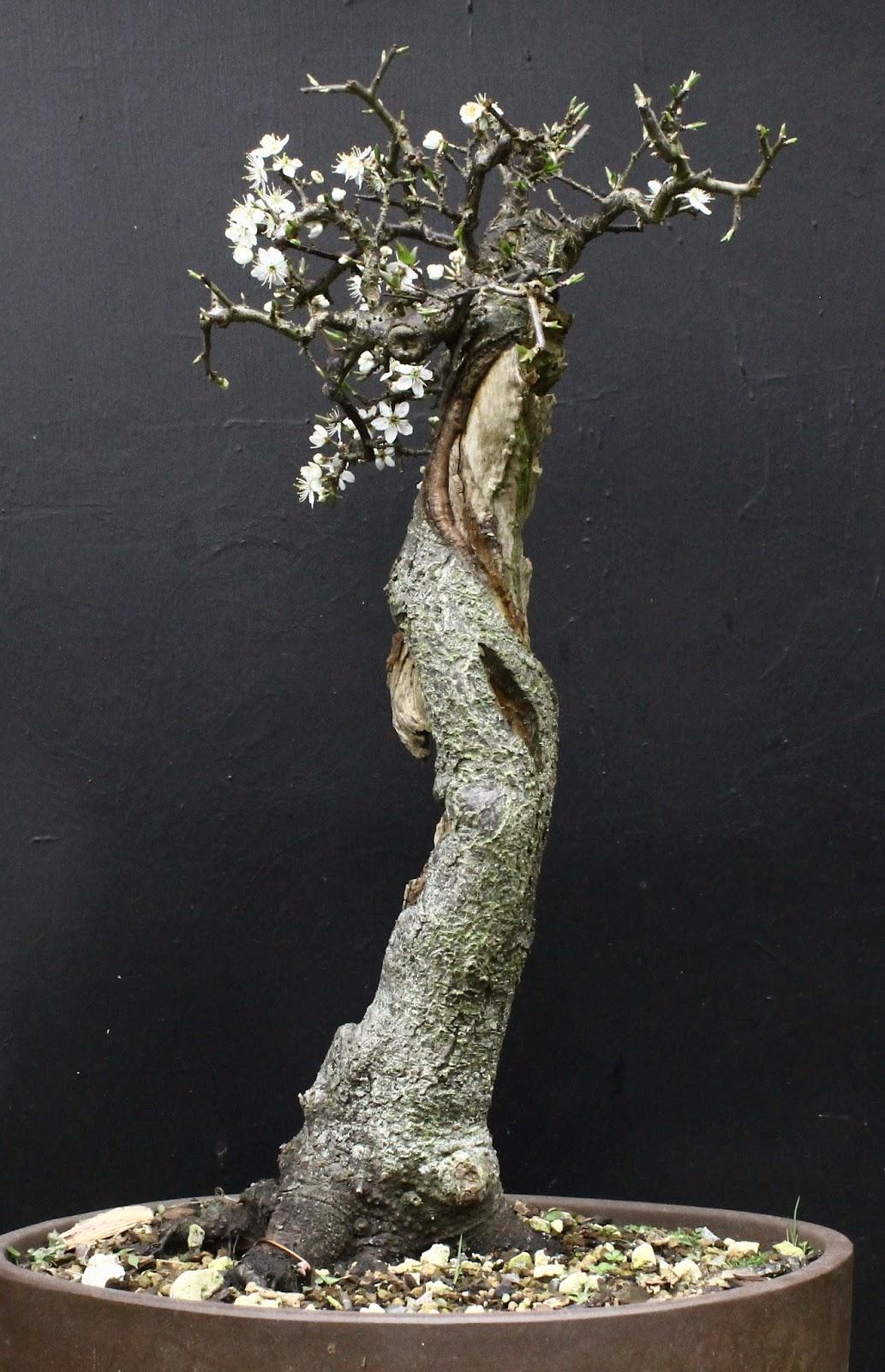 Wildwoodbonsai Blackthorn Prunus Spinosa From Urban Waste Ground