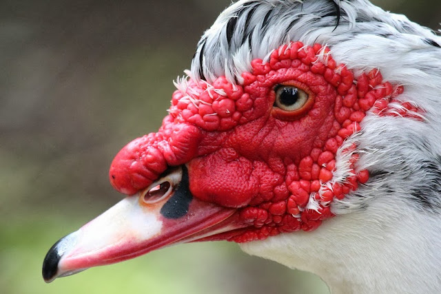Tierfotos - Vogelfotos - Enten - Warzenente