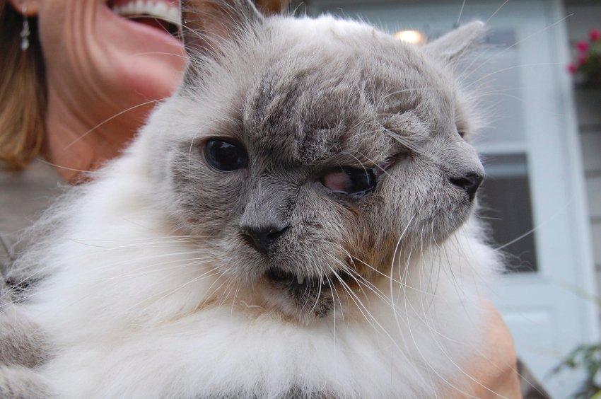 Необычный порок у кота - он родился с двумя мордами